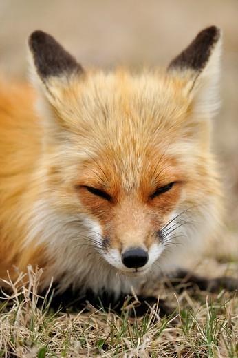 Stock Photo: 1566-861637 Red fox Vulpes vulpes Red fox Vulpes vulpes Relaxing