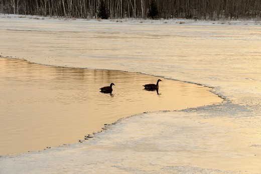 Migratory geese on open water with receding ice on Kelly Lake at spring break-up Greater Sudbury, Ontario, Canada : Stock Photo