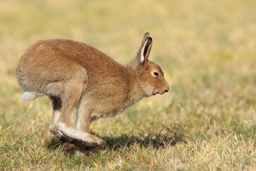 Stock Photo: 1566-862563 Irish Hares Lepus timidus hibernicus