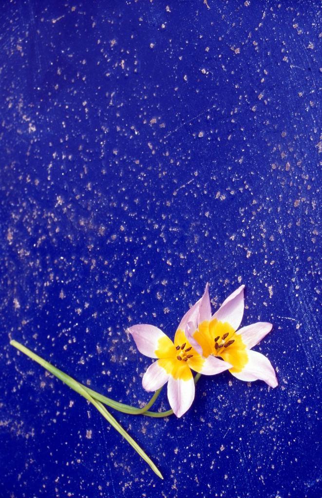 Stock Photo: 1566-862597 Tulip on Blue Table, Crete, Greece