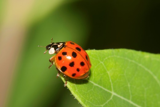 Stock Photo: 1566-864520 A Multicolored Asian Lady Beetle Harmonia axyridis perched on a leaf, Promised Land State Park, Greentown, Pike County, Pennsylvania, USA