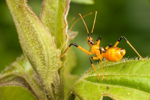 Assassin bug : Stock Photo
