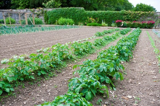 potato plants being grown in a formal kitchen garden : Stock Photo