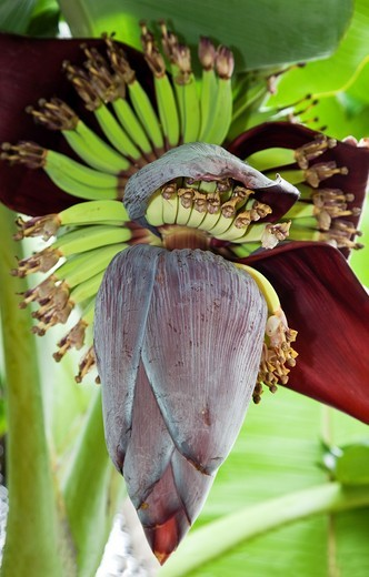 Stock Photo: 1566-865806 A Bunch of Bananas and Flower