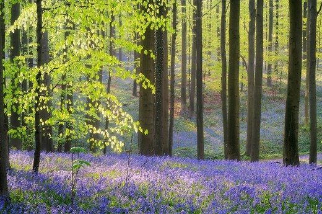 A blooming carpet of Bluebells in beech forest, bluebells Hyacinthoides non-scripta and European beech trees Fagus sylvatica, Hallerbos, Belgium, Europe : Stock Photo