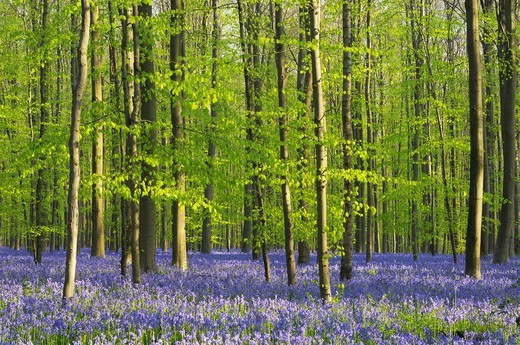 Stock Photo: 1566-866302 A blooming carpet of Bluebells in beech forest, bluebells Hyacinthoides non-scripta and European beech trees Fagus sylvatica, Hallerbos, Belgium, Europe