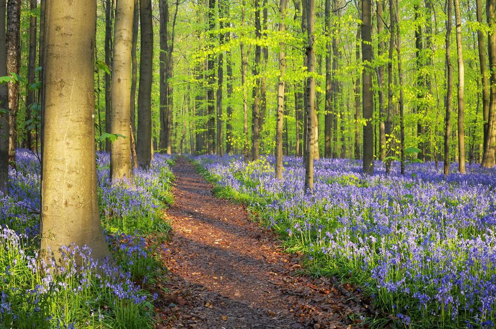 Path through a carpet of Bluebells in European beech forest, bluebells Hyacinthoides non-scripta and European beech trees Fagus sylvatica, Hallerbos, Belgium, Europe : Stock Photo