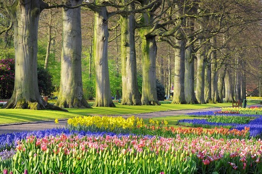 Tree lined path in formal garden with Springtime flowerbeds, Keukenhof Gardens, Lisse, Holland, Netherland : Stock Photo