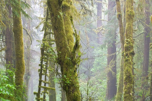 Stock Photo: 1566-868200 Mossy Spruce trees in fog on the Pacific coast of Oregon