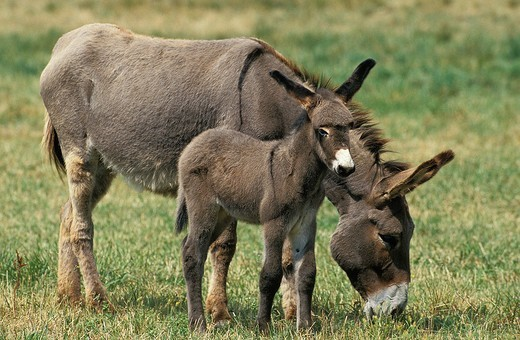 Stock Photo: 1566-868333 Grey Domestic Donkey, Female with Foal standing on Grass