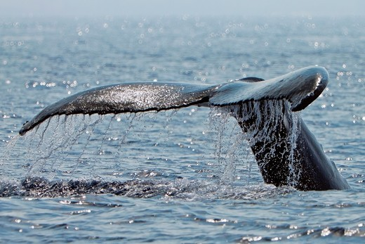 Stock Photo: 1566-869120 humpback whale, Megaptera novaeangliae, fluke up diving, Hawaii, USA, Pacific Ocean