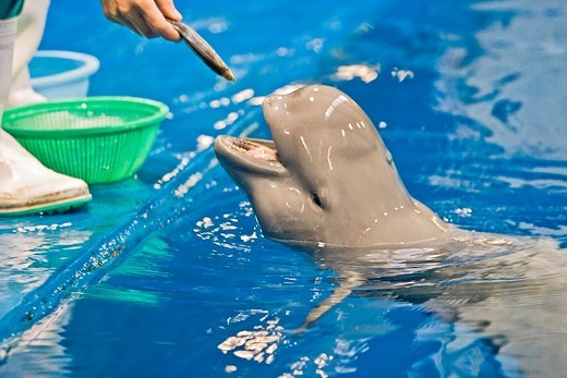 finless porpoise or sunameri, Neophocaena phocaenoides, feeding, found in coastal waters of Asia from Japan, China, Indonesia, India to Persian Gulf, captive : Stock Photo
