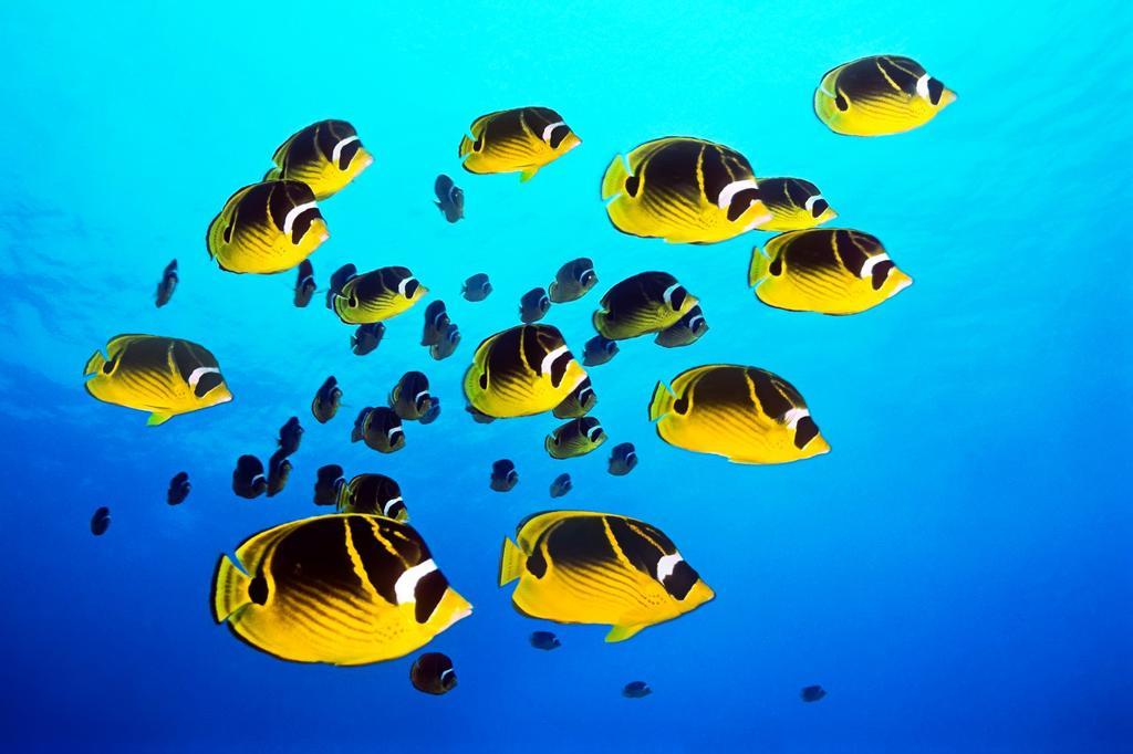 raccoon butterflyfish, Chaetodon lunula, schooling, Kona Coast, Big Island, Hawaii, USA, Pacific Ocean : Stock Photo