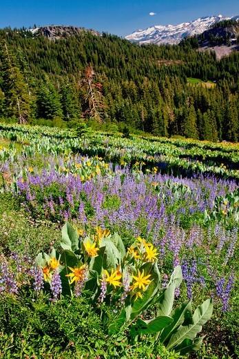 Summer bloom in the Lake Tahoe region : Stock Photo