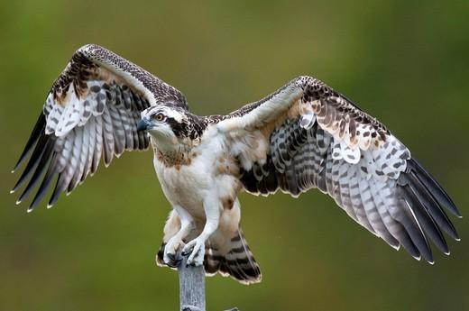 Stock Photo: 1566-869820 Osprey Pandion haliaetus, juvenile bird, perching on dead tree, Finland