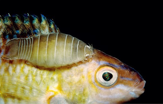 Stock Photo: 1566-872346 Parasitic isopods (Anilocra physodes), Eastern Atlantic, Galicia, Spain