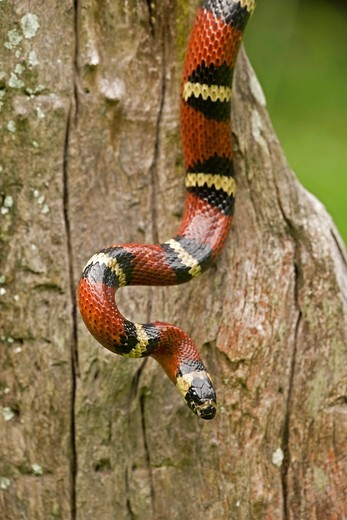 Tropical milksnake (Lampropeltis triangulum), Costa Rica - tropical dry forest - non-venomous - constrictor : Stock Photo