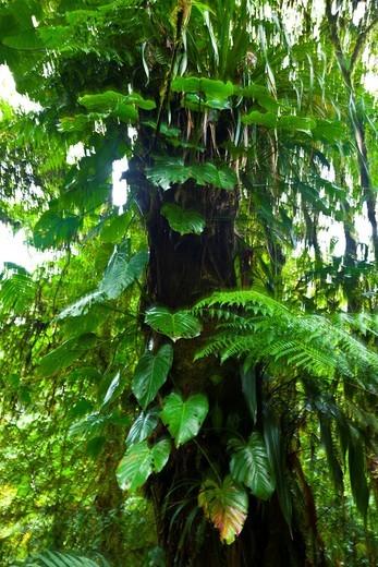 Santa Elena Cloud Forest Nature Reserve, Costa Rica, Central America, America : Stock Photo