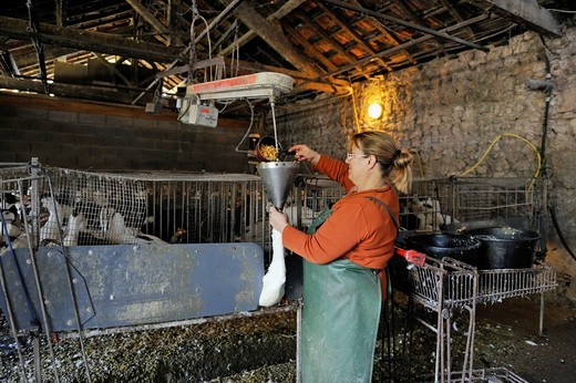 Stock Photo: 1566-873505 force-feeding of domestic ducks, Martin Neuf farm, Larresingle, around Condom, Gers department, Midi-Pyrenees, southwest of France, Europe