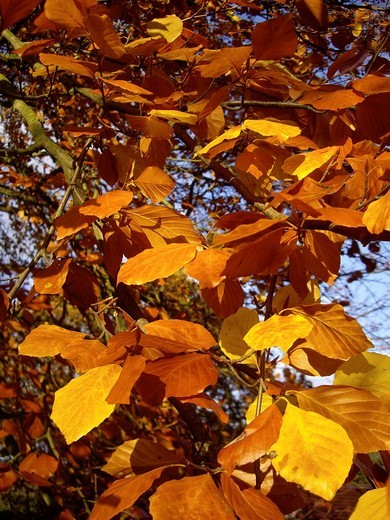 Stock Photo: 1566-873754 Yellow and orange leaves