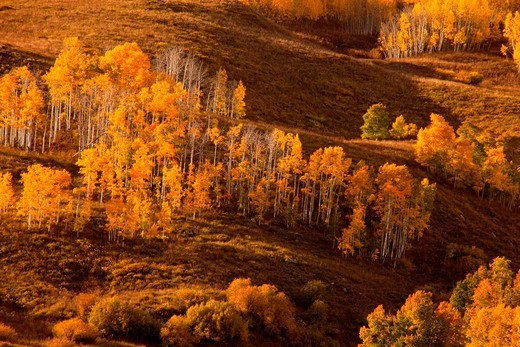 Aspens reach their fall color peak in the San Juan Mountain range in early October : Stock Photo