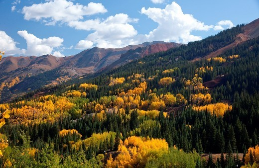 Stock Photo: 1566-874354 Aspens turning gold in the Rocky Mountains