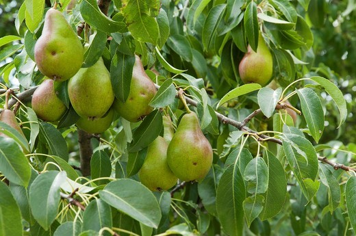 Pear tree Pyrus communis with fruits, Cerdanya valley, Spain : Stock Photo