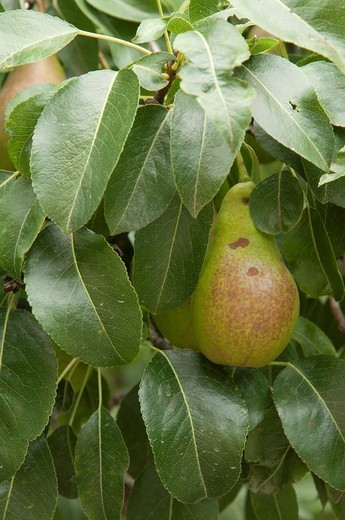 Stock Photo: 1566-874389 Pear tree Pyrus communis with fruits, Cerdanya valley, Spain