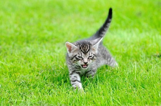 Stock Photo: 1566-874982 Kitten on a grass