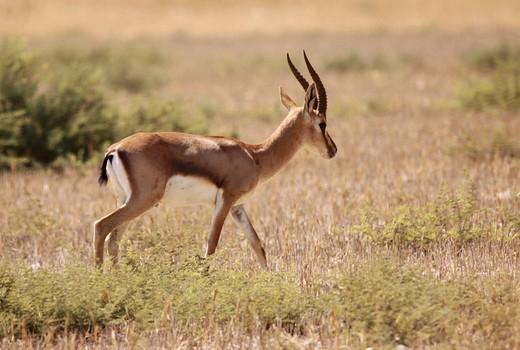 Dorcas Gazelle Gazella dorcas, also known as the Ariel Gazelle Photographed in Israel in September : Stock Photo
