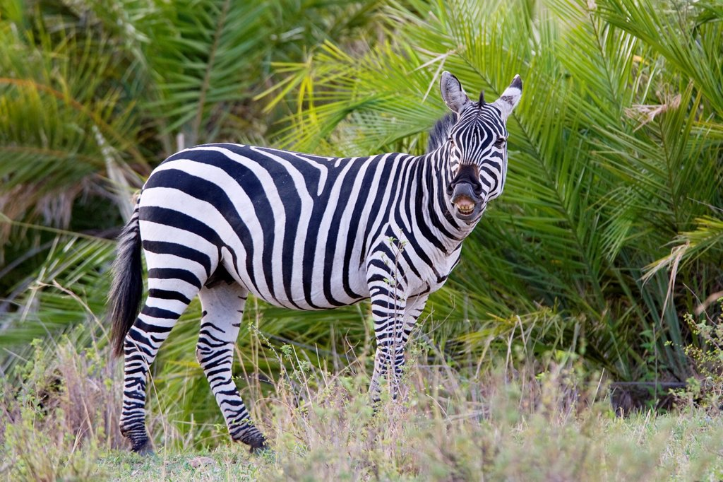 Zebra in the Masai Mara : Stock Photo