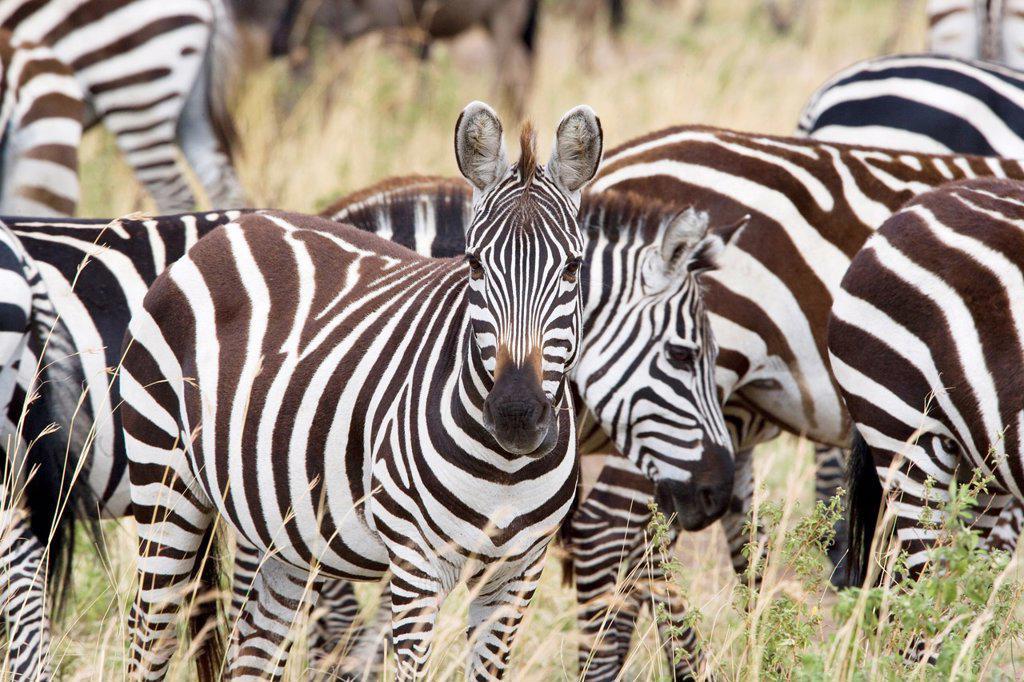 Stock Photo: 1566-876496 Zebra in the Masai Mara