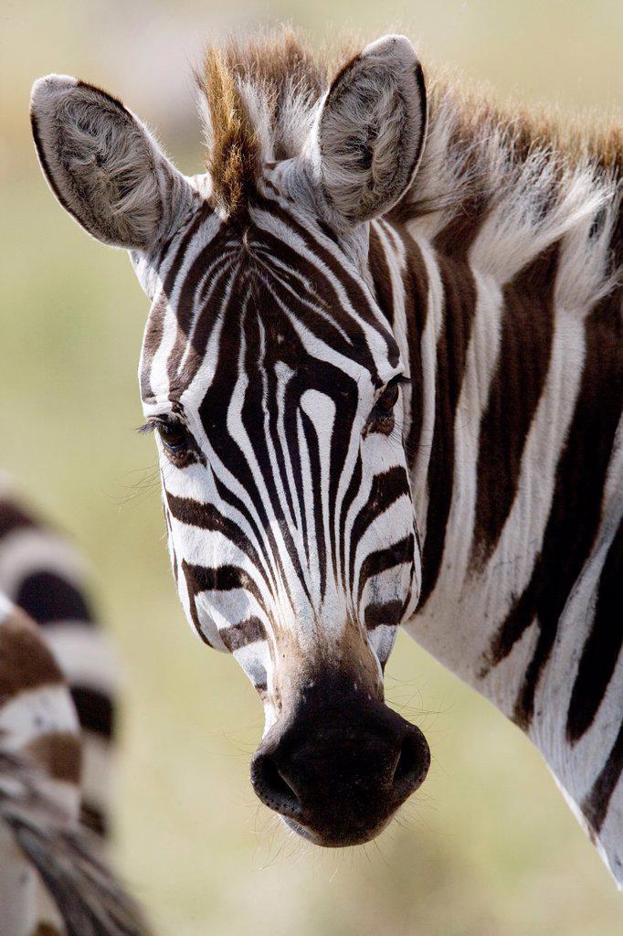 Zebra in the Masai Mara : Stock Photo
