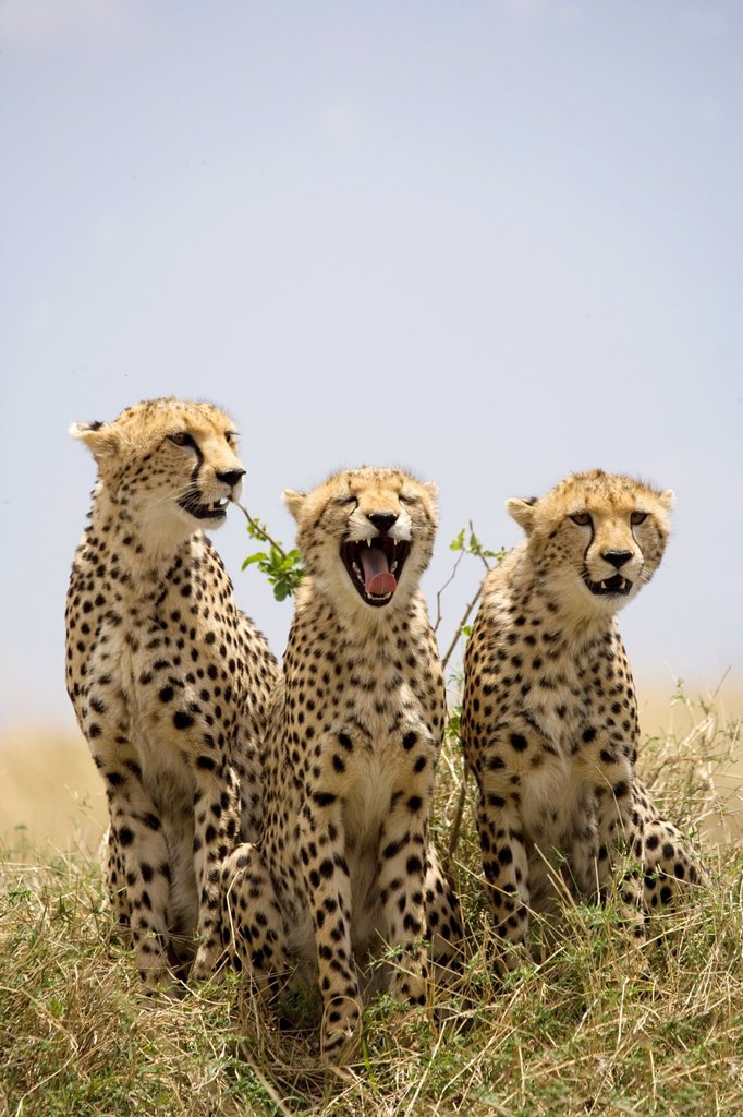Cheetah family in the Masai Mara : Stock Photo