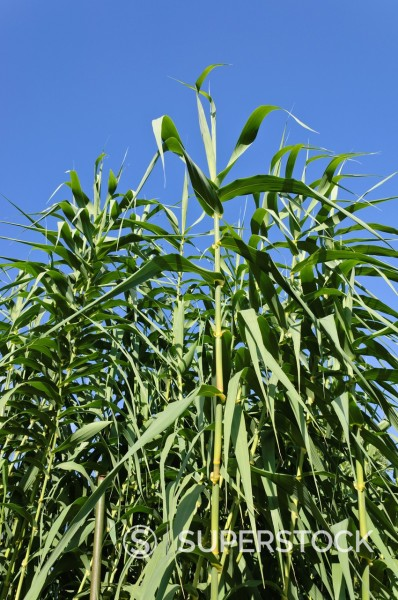 Stock Photo: 1566-876562 Giant reed Arundo donax