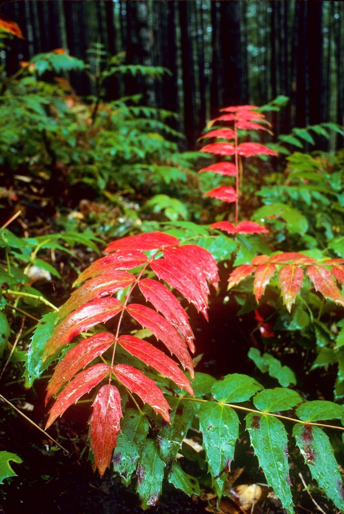 Red Oregon grape, Table Rock Wilderness, Salem District Bureau of Land Management, Oregon : Stock Photo