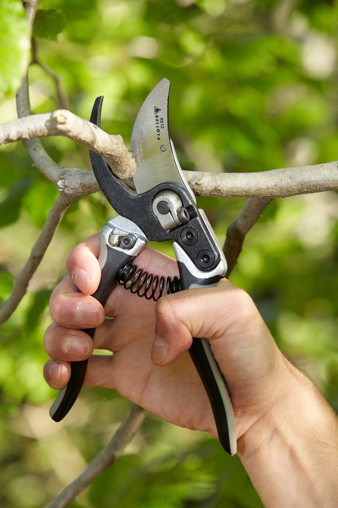 Stock Photo: 1566-879492 Cutting of tree branches, Pruning secateur, hand tool for agriculture, Donostia, San Sebastian, Gipuzkoa, Basque Country, Spain