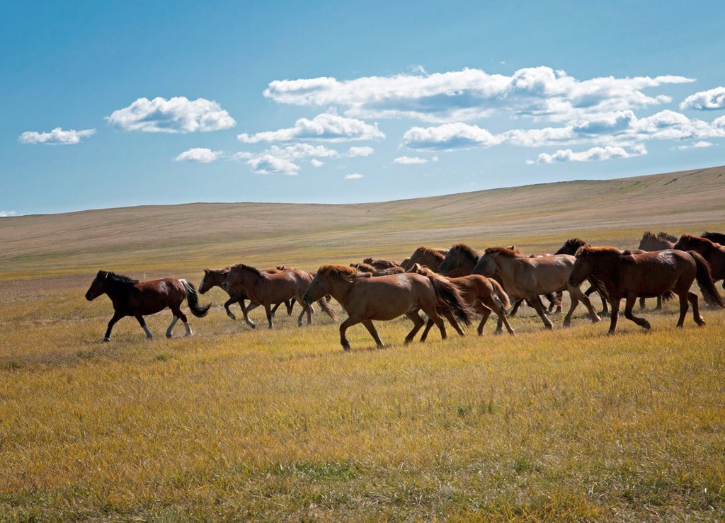 wild horses in the Orkhon River Valley of Central Mongolia : Stock Photo