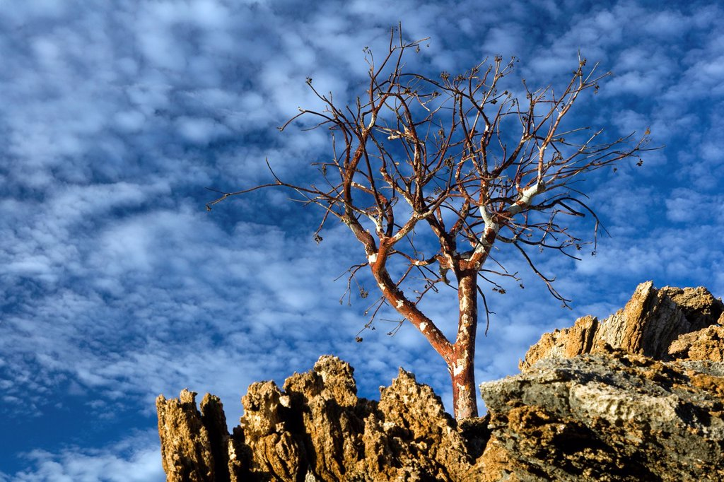 Stock Photo: 1566-880880 Lone Tree and Blue Sky near - Etambura Camp - Orupembe Conservancy - Kaokoland, Namibia