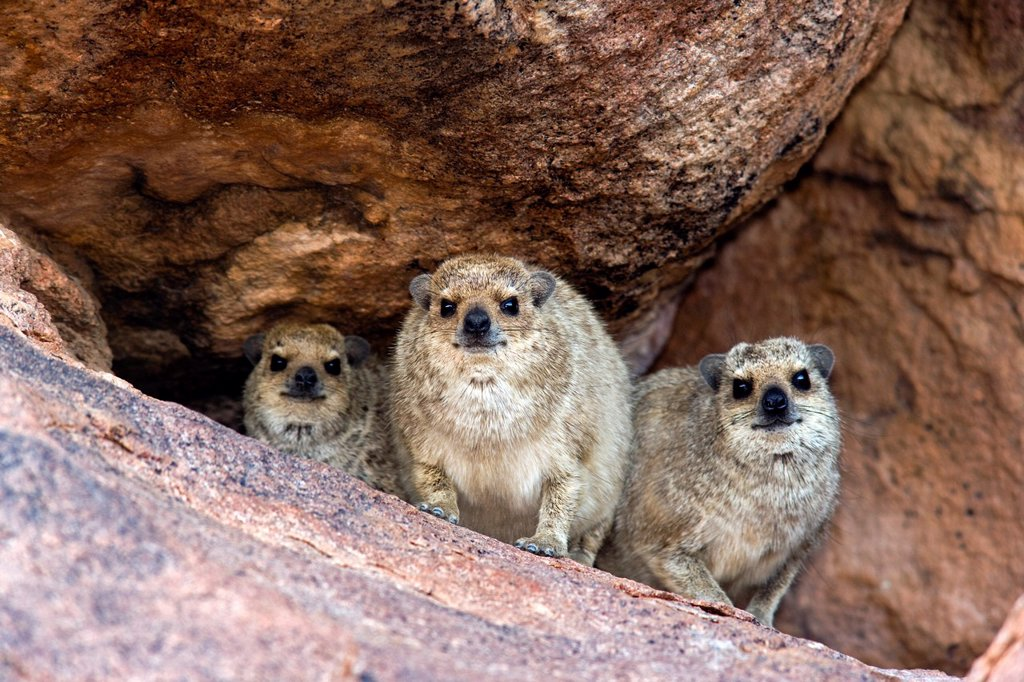 Stock Photo: 1566-880889 Rock Hyrax Family - Mowani Mountain Camp - Twyfelfontein, Damaraland, Namibia, Africa