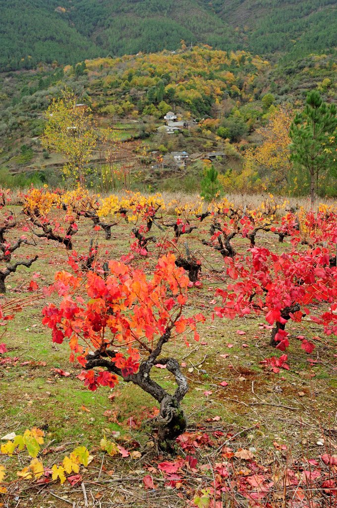 Stock Photo: 1566-882198 Vineyard in autumn  Quiroga, Lugo, Galicia, Spain
