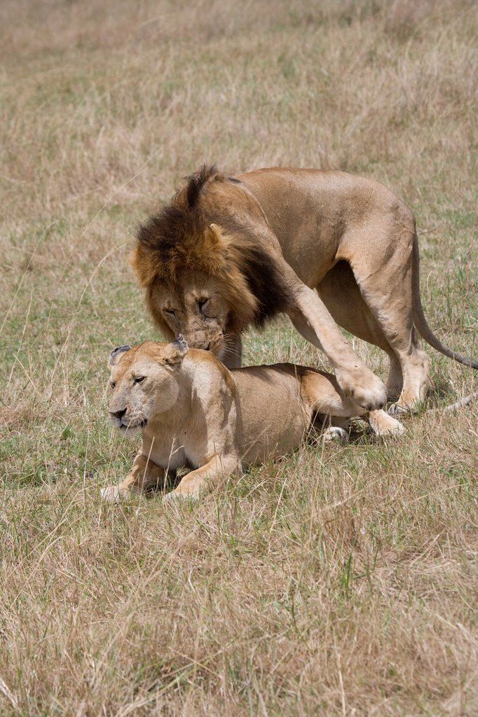 Stock Photo: 1566-882735 Male Lion and Lioness procreate in the Masai Mara
