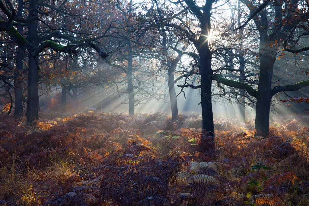 Common Oak Quercus robur, Woodland with Bracken in Autumn Morning Mist, Reinhardwald, North Hessen, Germany : Stock Photo
