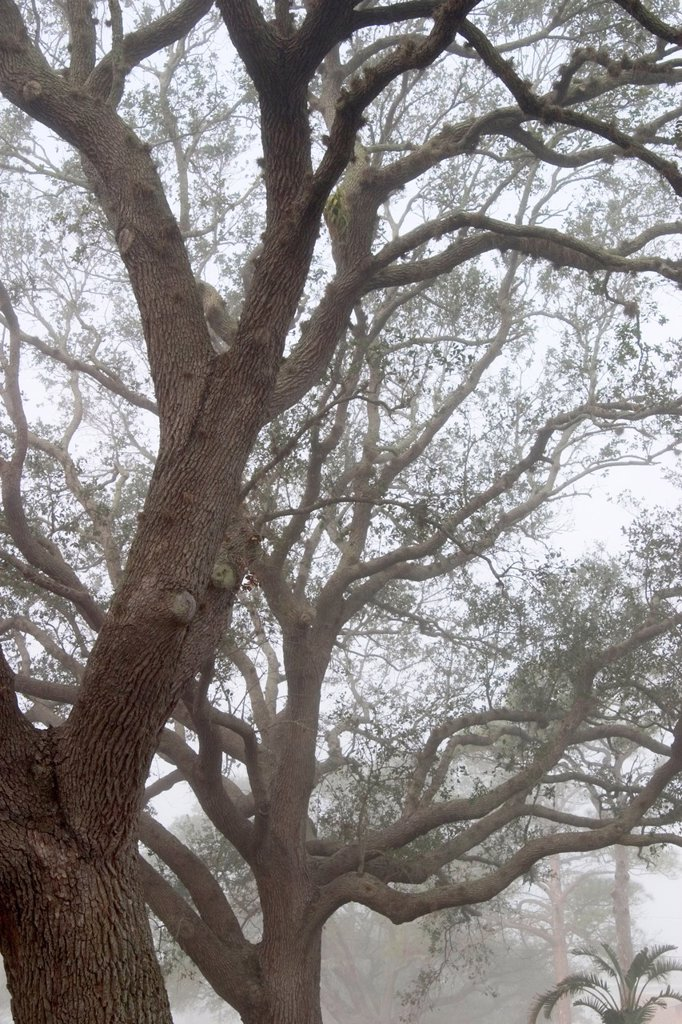 Stock Photo: 1566-888117 Fog in Live Oak trees on West Venice Ave , Venice, Florida