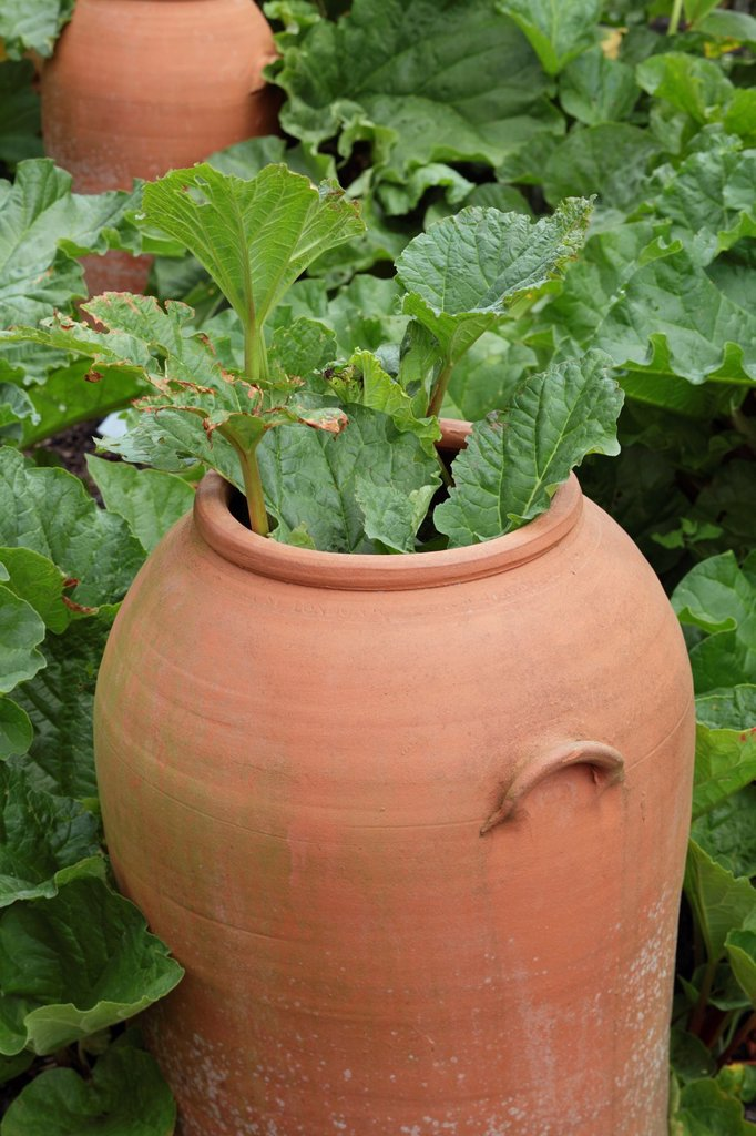 Stock Photo: 1566-888658 Terracotta rhubarb forcer with Rhubarb ´The Sutton´