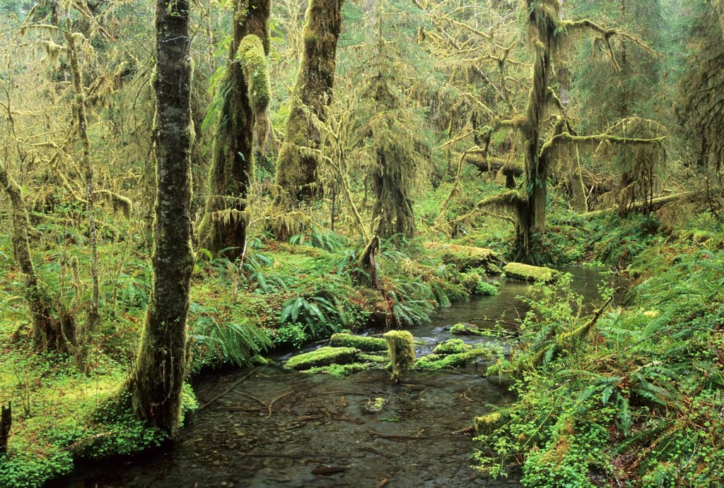 Ward Creek along Spruce Nature Trail, Olympic National Park, WA : Stock Photo