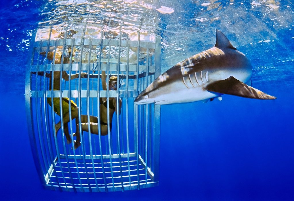 Galapagos shark, Carcharhinus galapagensis, and snorkelers in cage, showing nictitating membrane, offshore, North Shore, Oahu, Hawaii, USA, Pacific Ocean : Stock Photo