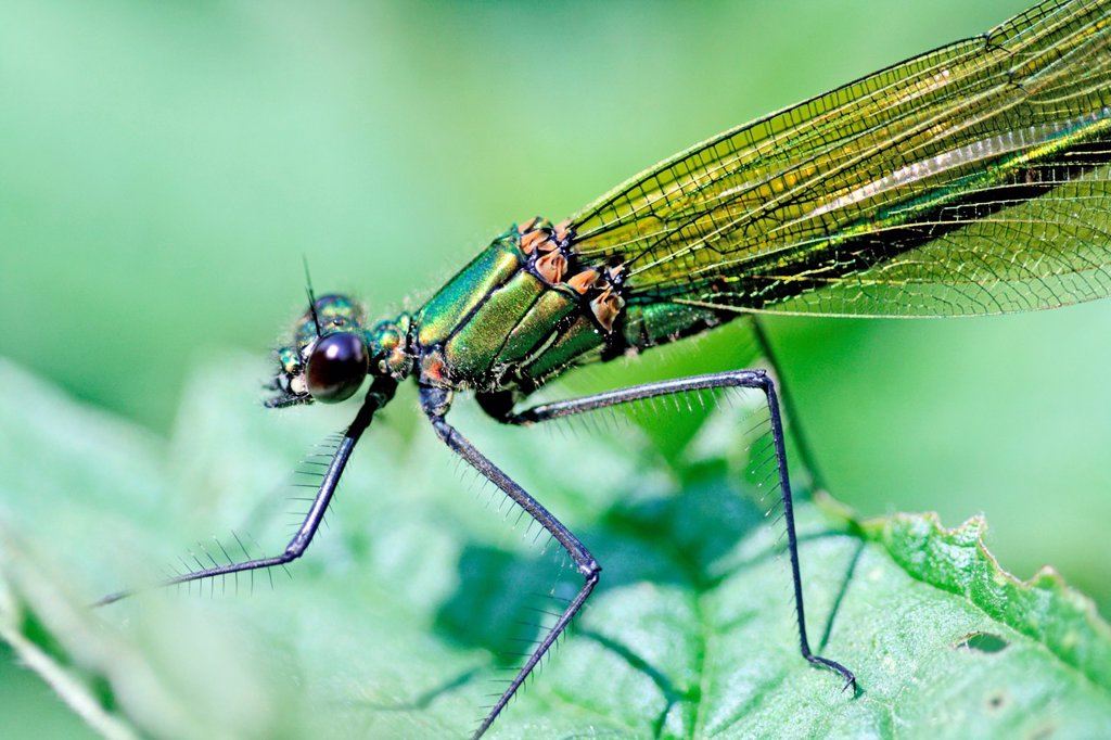 Western Demoiselle, Calopteryx xanthostoma, female  Mature female on grass  Metallic green damselfly with ruby tipped tail  Small white stigmata  male is metallic blue with banded wings   nearly identical to Claopteryx splendens, Banded Demoiselle : Stock Photo