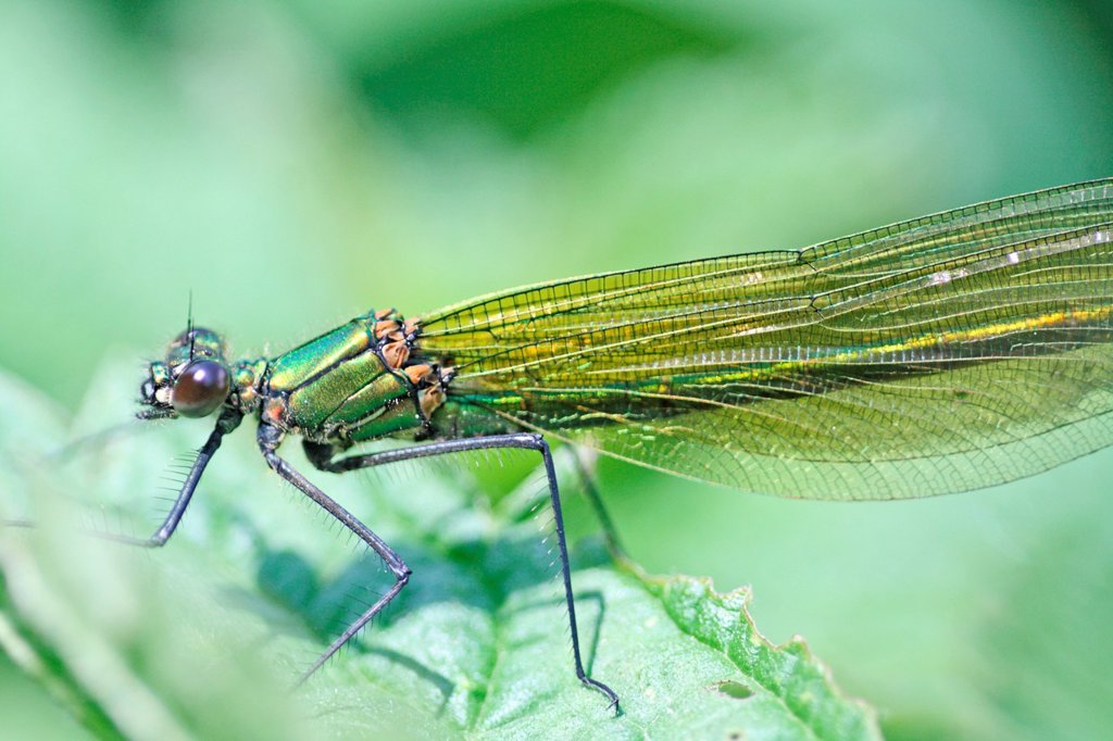 Stock Photo: 1566-891417 Western Demoiselle, Calopteryx xanthostoma, female  Mature female on grass  Metallic green damselfly with ruby tipped tail  Small white stigmata  male is metallic blue with banded wings   nearly identical to Claopteryx splendens, Banded Demoiselle