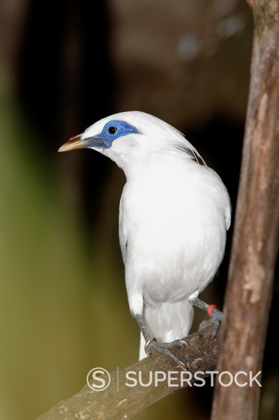 Stock Photo: 1566-891503 The Bali Starling, Leucopsar rothschildi, also known as the Bali Mynah, is endemic to the island of Bali, Indonesia, where loss of habitat, plus poaching, has pushed this bird to the edge of extinction  Listed as critically endangered on the IUCN red list. The Bali Starling, Leucopsar rothschildi, also known as the Bali Mynah, is endemic to the island of Bali, Indonesia, where loss of habitat, plus poaching, has pushed this bird to the edge of extinction  Listed as critically endangered on the I